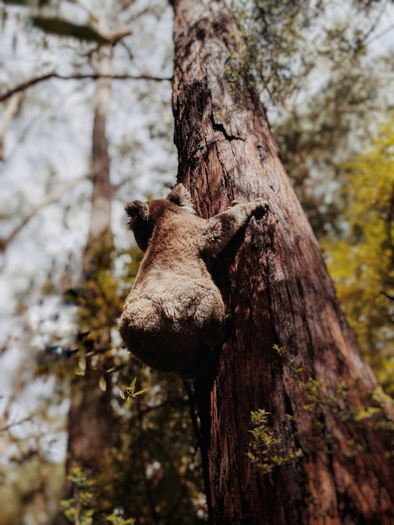 Koala grimpant sur un arbre