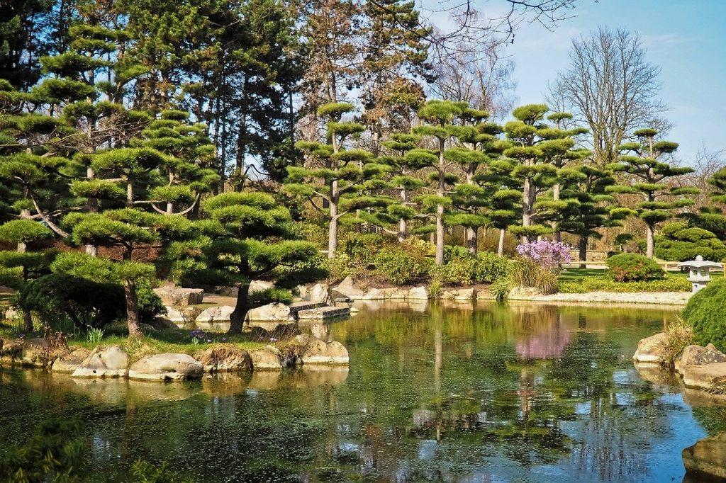 Cèdre du Japon